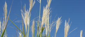 Freedom® Miscanthus Grass